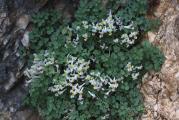 708 Sarcocapnos enneaphylla.jpg