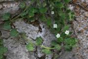 114 Veronica cymbalaria.jpg