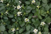 221 Nasturtium officinale (Poecilimon mytilenensis).jpg