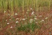 228 Oenanthe silaifolia.jpg
