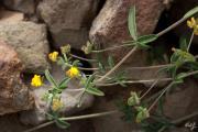 214 Hymenocarpus circinnatus.jpg