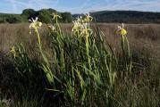 523 Iris orientalis.jpg