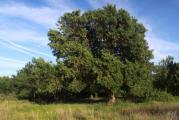 527 Fraxinus angustifolia.jpg