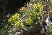 613 Euphorbia rigida.jpg