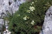 604 Astragalus angustifolius.jpg