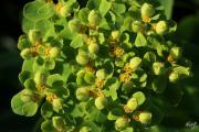 Euphorbia austriaca 2.jpg