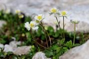 Ranunculus alpestris 1.jpg