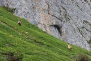Capra ibex 1.jpg