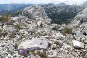 Linaria alpina 2.jpg