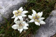 041 (Leontopodium alpinum).jpg