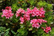 051 (Rhododendron hirsutum 1).jpg