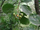 Sorbus barrandienica 4.jpg