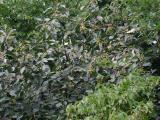 Sorbus barrandienica 7.jpg