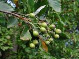Sorbus barrandienica 8.jpg