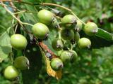 Sorbus barrandienica 9.jpg