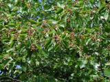 Sorbus torminalis 2.jpg