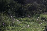 Orchis italica 2.jpg