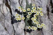 Saxifraga squarrosa 2.jpg