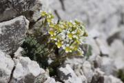 Saxifraga squarrosa 1.jpg