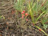 Ephedra distachya5.jpg