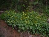 Ranunculus repens (kúszó boglárka) DSCF0987 - Cserkút 2011. 05. 14..JPG