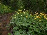 Ranunculus repens (kúszó boglárka) DSCF0990 - Cserkút 2011. 05. 14..JPG