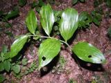 Polygonatum latifolium (széleslevelű salamonpecsét) DSCF2601 - Harka - 2011. 06. 11..JPG