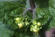 Scrophularia vernalis 1.jpg