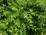 Andrachne colchica (1).JPG