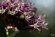 Allium atropurpureum 4.jpg