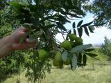 Sorbus domestica termései (legszebb)06.jpg