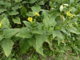 Silphium perfoliatum (10).JPG