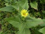 Silphium perfoliatum (1).JPG