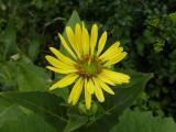 Silphium perfoliatum (5).JPG