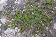 Herniaria glabra (kopasz porcika) P1160311 - Sárálló 2012. 07. 22..jpg