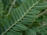 Amorpha canescens (5).JPG