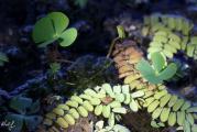Marsilea quadrifolia 3.jpg
