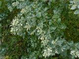 Baccharis halimifolia (2).JPG