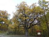 Quercus pubescens.JPG