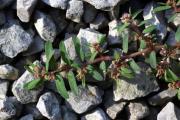 Chamaesyce maculata 2.jpg