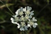 Orlaya grandiflora (nagyvirágú Orlay-turbolya) 22-05-2014 17-07-47.JPG