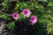 Osteospermum - Kopie.jpg