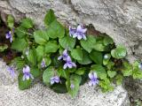 31 Viola x2.jpg