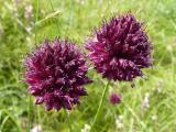 Allium sphaerocephalon11.JPG