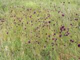 Allium sphaerocephalon15.JPG