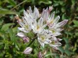 Allium moschatum13.JPG