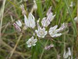 Allium moschatum14.JPG