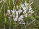 Allium moschatum15.JPG