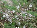 Allium moschatum11.JPG