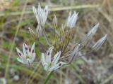 Allium moschatum5.JPG